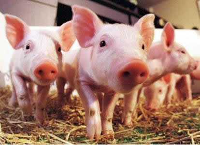 规模化生猪养殖风起云涌 产业亟须风险管理工具